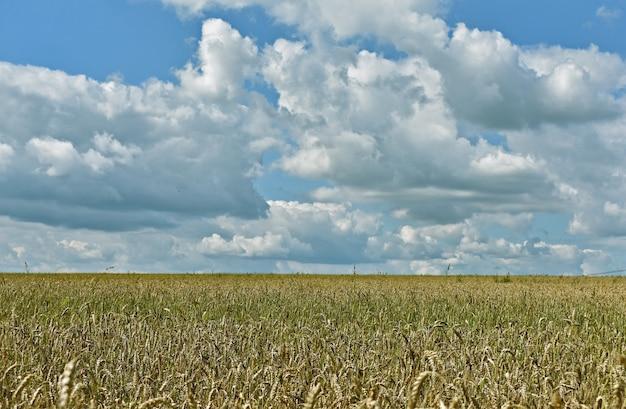 Огромное желтое пшеничное поле и голубое небо.
