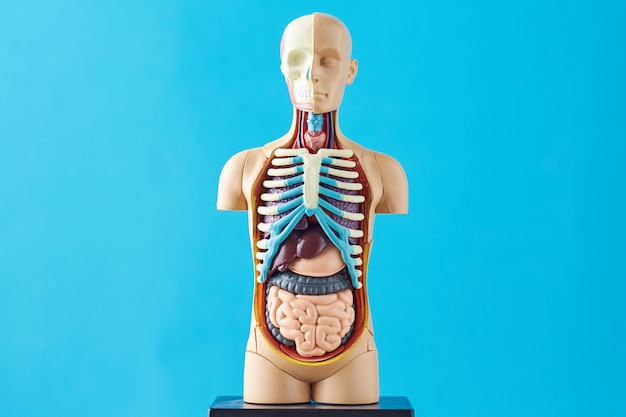 Human anatomy mannequin with internal organs on a blue background