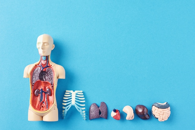 Human anatomy mannequin with internal organs on a blue surface