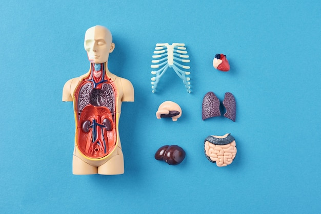 Human anatomy mannequin with internal organs on blue
