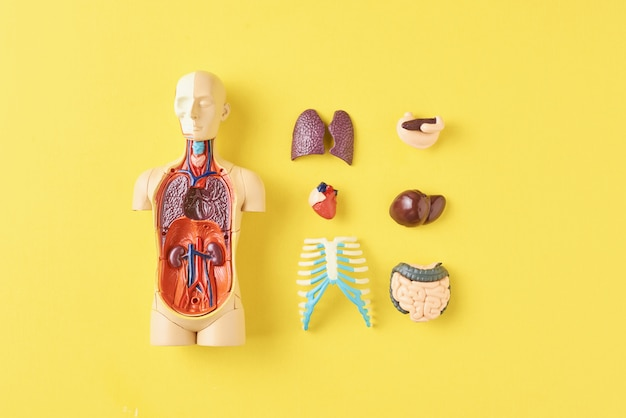 Human anatomy mannequin with internal organs