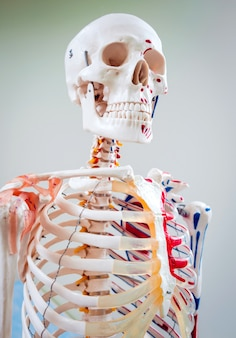 Human anatomy model. medical office.