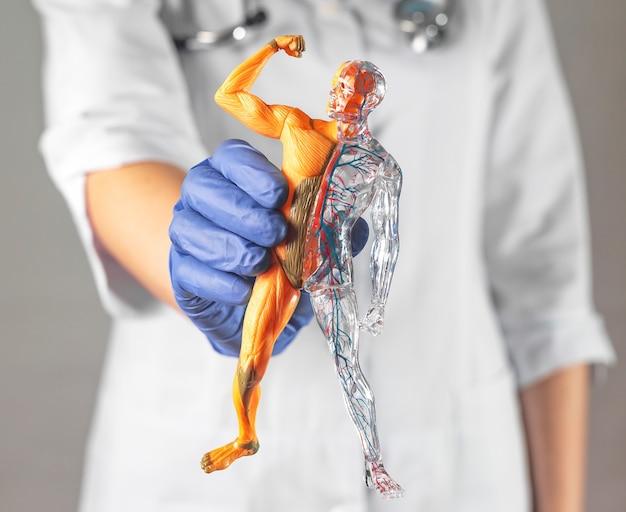 医師の手のクローズアップ解剖学研究における筋肉および血液循環系を備えた人体