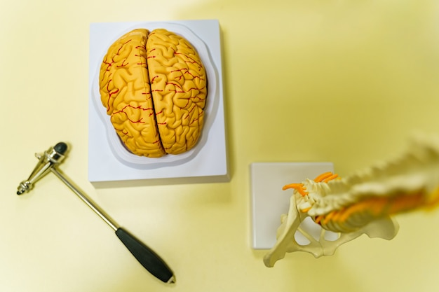 Human brain model for education in laboratory. neurosurgery concept.