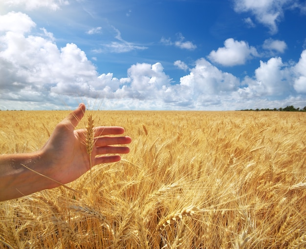 Human hand ahd wheat