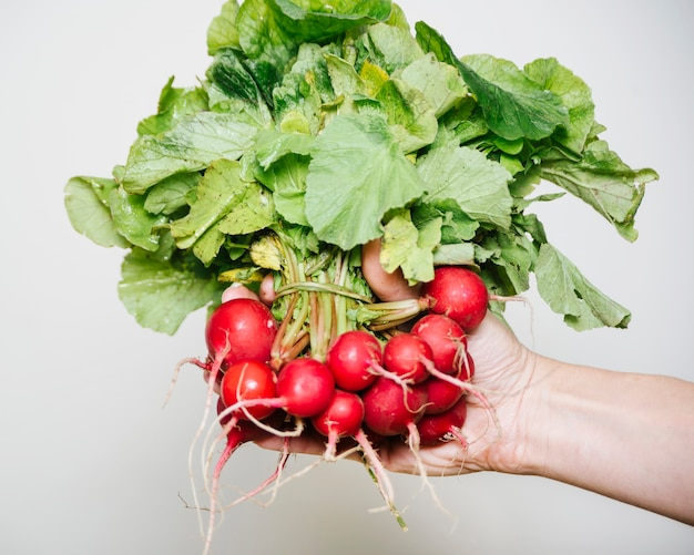 Human hand holding freshly harvested radishes