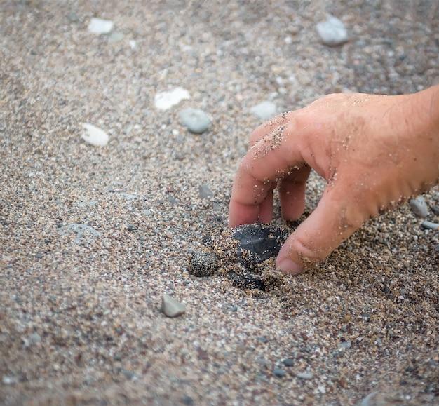 小さなウミガメの赤ちゃんを持っている人間の手は、砂の下で巣から掘り出すのを助けます