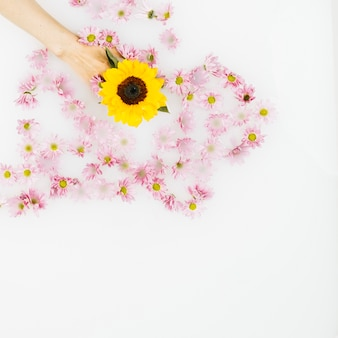 Human hand holding yellow flower amongst pink blossom on white background