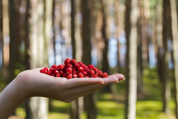 Человеческая ладонь руки с горстью свежих одичалых спелых клубник на фоне леса.