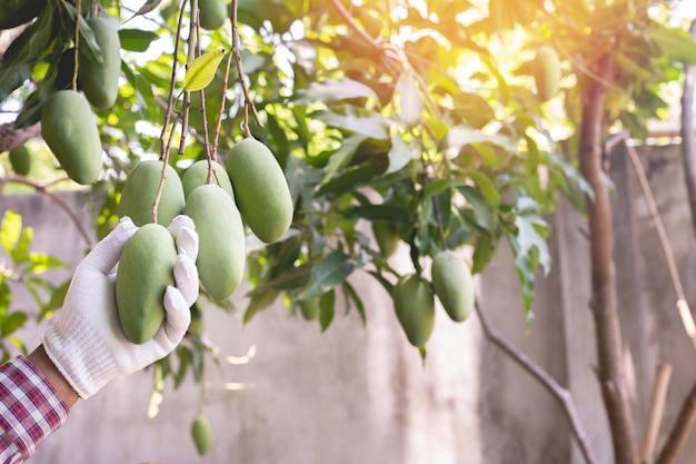 Human hand pinking mangoes fruit in garden.