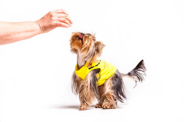 Human hand playing with dog over white background