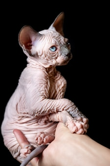 Human hand tenderly holding kitten of canadian sphynx cat breed on black background studio shot