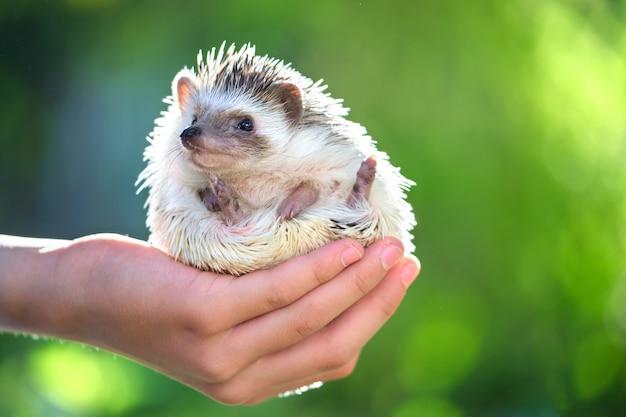 夏の日に屋外で小さなアフリカのハリネズミペットを保持している人間の手。家畜の飼育とペットの世話のコンセプト。