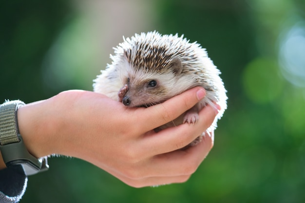 여름날 야외에서 작은 아프리카 고슴도치 애완동물을 들고 있는 인간의 손. 가축을 기르고 애완동물을 돌보는 개념.