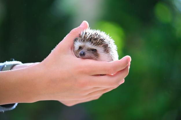 Человеческие руки, держа маленькое домашнее животное африканского ежа на открытом воздухе в летний день. содержание домашних животных и концепция ухода за домашними животными.
