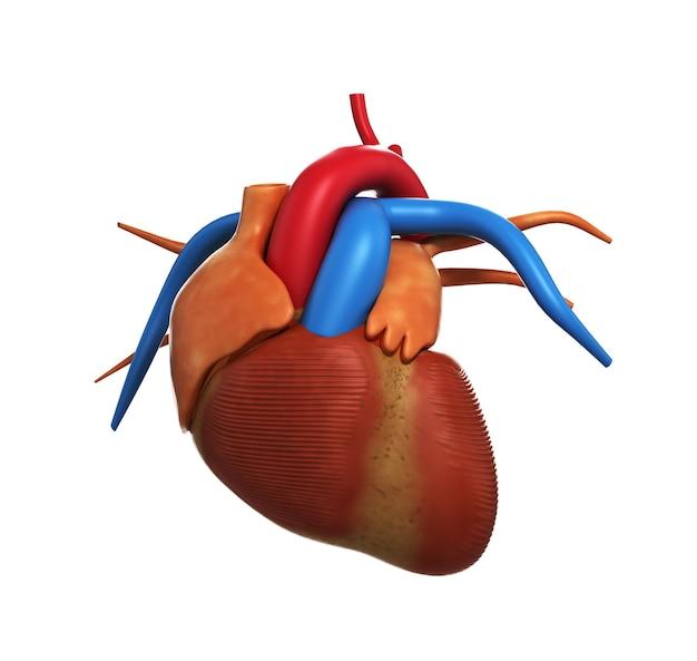흰색 3d 렌더링에 고립 된 인간의 마음의 인간의 심장 해부학