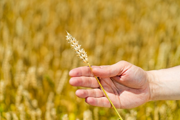 Human holds in his hand stalk of  ripe wheat on field in the summer.