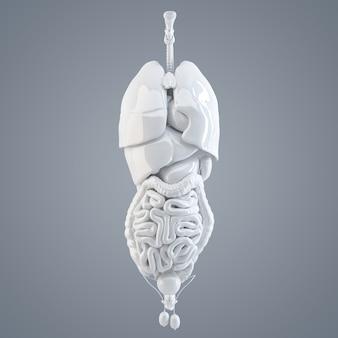 Внутренние органы человека. 3d иллюстрации. изолированный. содержит обтравочный контур