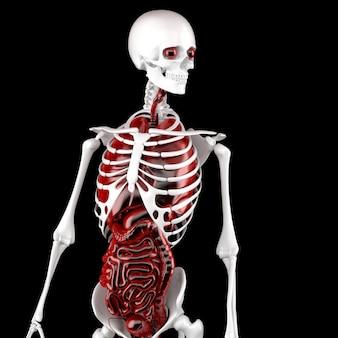 인간의 남성 해부학. 골격 및 내부 장기. 3d 그림입니다. 클리핑 경로를 포함합니다.