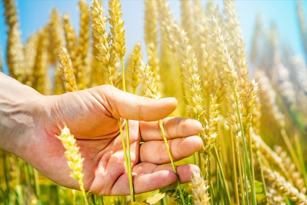 A human's hand holds stalks of wheat in the field in a sunny day.