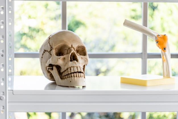 Human skull and arm model on a shelf.