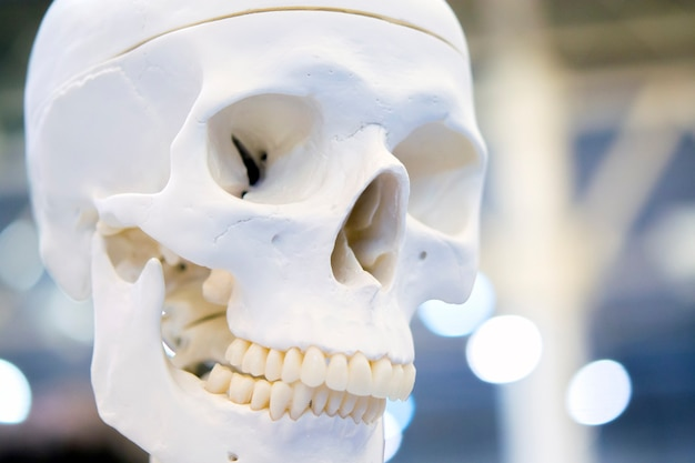 人間の頭蓋骨のクローズアップ