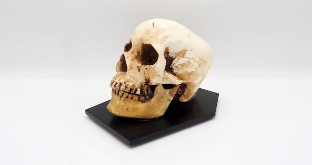 수지 플라스틱으로 만든 인간의 두개골 머리 모델.