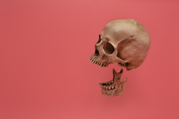 The human skull isolated on a pink background.