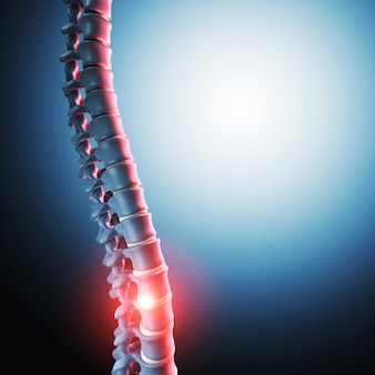 Human spinal bone 3d