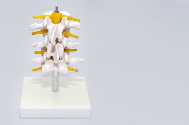 Пластическая модель позвоночника человека для хирургии в клинике, анатомические модели суставов и нервов, часть модели искусственного поясничного отдела позвоночника в неврологическом кабинете, медицина, здоровье, концепция ухода за телом, место для текста