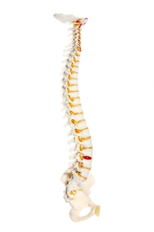 A human spine preparation over white background