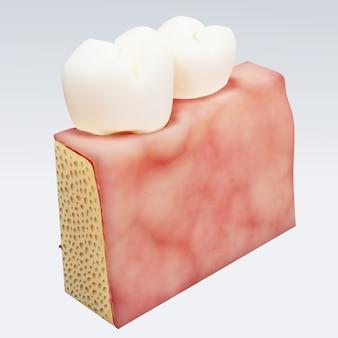 인간의 치아. 치아의 디지털 일러스트 절연에 횡단면. 3d 렌더링