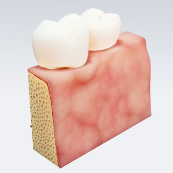 Human tooth. digital illustration of teeth cross section in isolated . 3d rendering