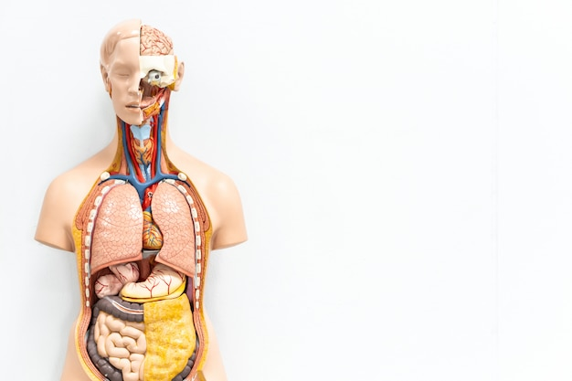 Human torso with organs artificial model in medical student classroom on white background with copy space