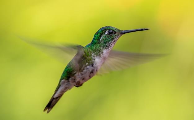 Humming bird in flight on green