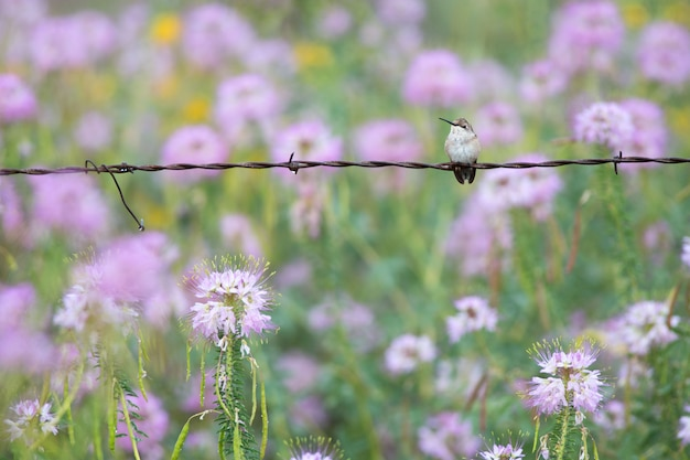 Hummingbird on barbed wire fence with wildflowers