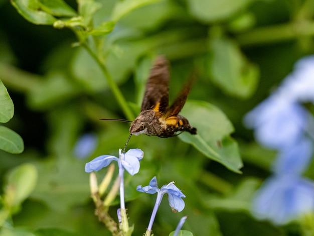 벌새 매 나방은 일본 가나가와 현 야마토의 강을 따라 꽃에서 먹이를 먹는다.