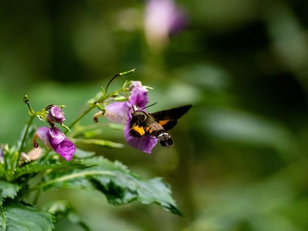 Ястребиный колибри питается цветами на берегу реки в ямато, япония.