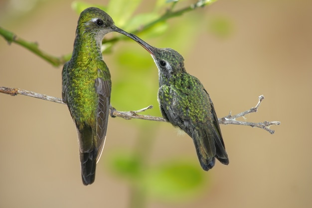 Hummingbird mom feeding its child as they both stand on a thin branch