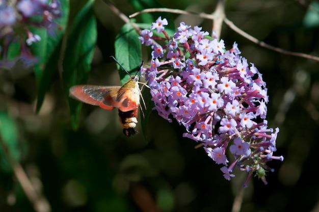 Hummingbird moth on a buddleia bush