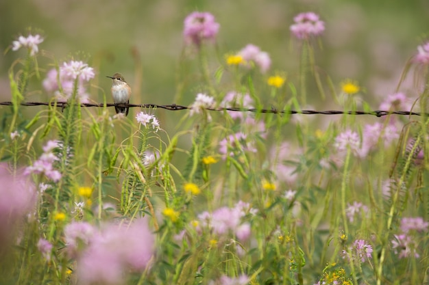 Hummingbird perching on barbed wire with wildflowers