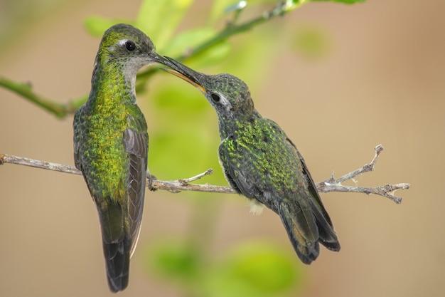 Колибри сидели на ветке дерева