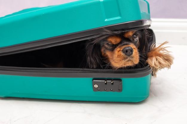 スーツケースの中からふざけて覗き込んでいる、小さくてエッチなキャバリアキングチャールズスパニエル犬のユーモアライフスタイル写真。
