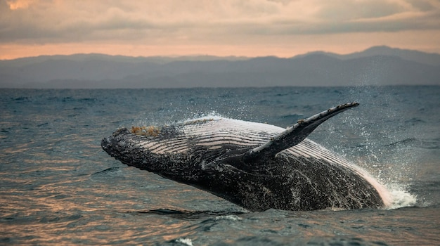 ザトウクジラが水から飛び出している