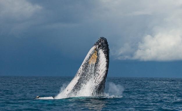 혹등 고래가 물 밖으로 뛰어 내리고있다