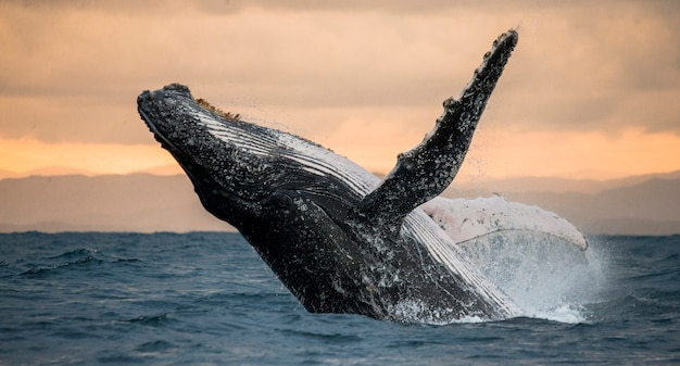 Humpback whale is jumping out of the water