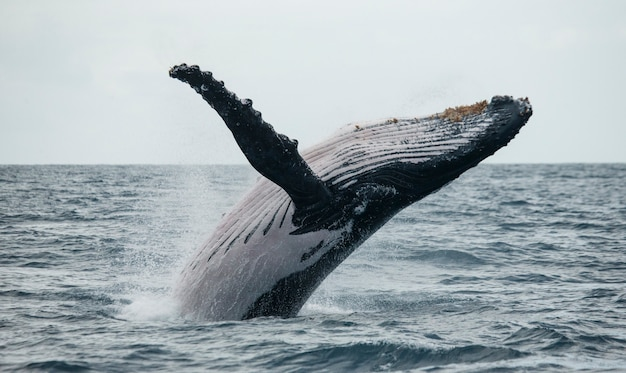Горбатый кит выпрыгивает из воды. красивый прыжок. , мадагаскар. остров святой марии.