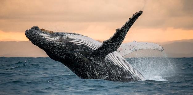 혹등 고래가 물에서 뛰어 내립니다. 아름다운 점프. . 마다가스카르. 세인트 메리 섬.