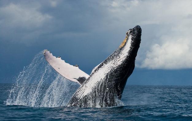 ザトウクジラが水から飛び出します。美しいジャンプ。 。マダガスカル。セントメリーズアイランド。