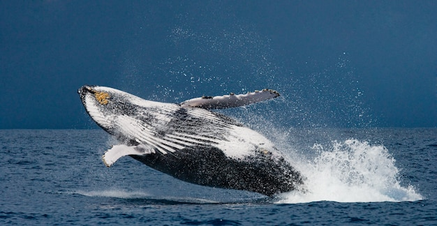 Humpback whale jumps out of the water. beautiful jump. . madagascar. st. mary's island.